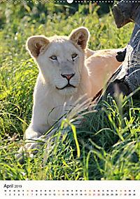 KATZEN PORTRAITS Weisse Löwen aus Afrika (Wandkalender 2019 DIN A2 hoch) - Produktdetailbild 4