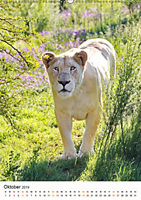 KATZEN PORTRAITS Weisse Löwen aus Afrika (Wandkalender 2019 DIN A2 hoch) - Produktdetailbild 10