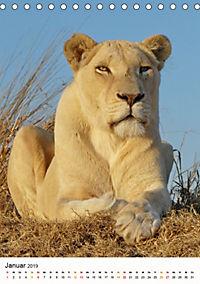 KATZEN PORTRAITS Weiße Löwen aus Afrika (Tischkalender 2019 DIN A5 hoch) - Produktdetailbild 1