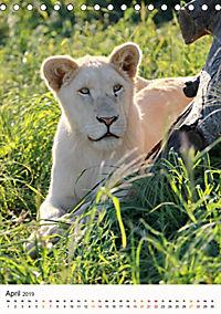 KATZEN PORTRAITS Weiße Löwen aus Afrika (Tischkalender 2019 DIN A5 hoch) - Produktdetailbild 4