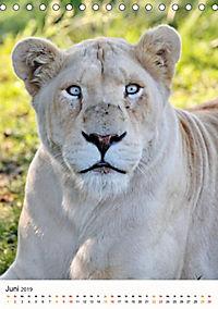 KATZEN PORTRAITS Weiße Löwen aus Afrika (Tischkalender 2019 DIN A5 hoch) - Produktdetailbild 6