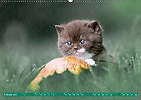 Katzenkinder - Britisch Kurzhaar (Wandkalender 2019 DIN A2 quer) - Produktdetailbild 2