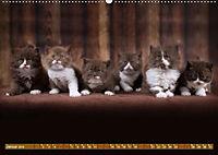 Katzenkinder - Britisch Kurzhaar (Wandkalender 2019 DIN A2 quer) - Produktdetailbild 1