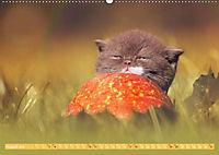 Katzenkinder - Britisch Kurzhaar (Wandkalender 2019 DIN A2 quer) - Produktdetailbild 8