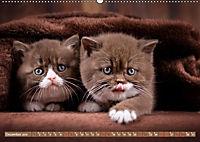 Katzenkinder - Britisch Kurzhaar (Wandkalender 2019 DIN A2 quer) - Produktdetailbild 12