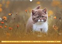 Katzenkinder - Britisch Kurzhaar (Wandkalender 2019 DIN A3 quer) - Produktdetailbild 4