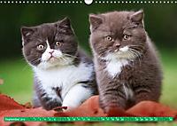 Katzenkinder - Britisch Kurzhaar (Wandkalender 2019 DIN A3 quer) - Produktdetailbild 9