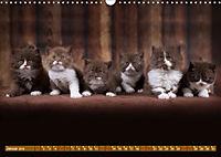 Katzenkinder - Britisch Kurzhaar (Wandkalender 2019 DIN A3 quer) - Produktdetailbild 1