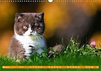Katzenkinder - Britisch Kurzhaar (Wandkalender 2019 DIN A3 quer) - Produktdetailbild 5