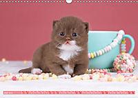 Katzenkinder - Britisch Kurzhaar (Wandkalender 2019 DIN A3 quer) - Produktdetailbild 6