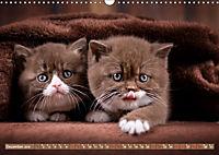 Katzenkinder - Britisch Kurzhaar (Wandkalender 2019 DIN A3 quer) - Produktdetailbild 12