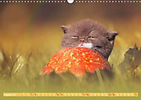 Katzenkinder - Britisch Kurzhaar (Wandkalender 2019 DIN A3 quer) - Produktdetailbild 8