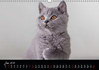Katzenkinder Britisch Kurzhaar (Wandkalender 2019 DIN A3 quer) - Produktdetailbild 6
