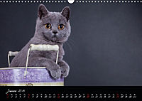 Katzenkinder Britisch Kurzhaar (Wandkalender 2019 DIN A3 quer) - Produktdetailbild 1