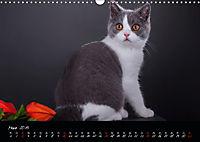 Katzenkinder Britisch Kurzhaar (Wandkalender 2019 DIN A3 quer) - Produktdetailbild 3