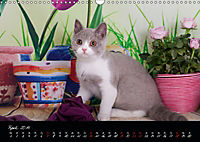 Katzenkinder Britisch Kurzhaar (Wandkalender 2019 DIN A3 quer) - Produktdetailbild 4