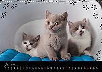 Katzenkinder Britisch Kurzhaar (Wandkalender 2019 DIN A3 quer) - Produktdetailbild 7