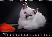 Katzenkinder Britisch Kurzhaar (Wandkalender 2019 DIN A3 quer) - Produktdetailbild 5