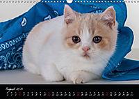 Katzenkinder Britisch Kurzhaar (Wandkalender 2019 DIN A3 quer) - Produktdetailbild 8