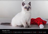Katzenkinder Britisch Kurzhaar (Wandkalender 2019 DIN A3 quer) - Produktdetailbild 12