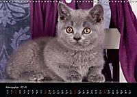 Katzenkinder Britisch Kurzhaar (Wandkalender 2019 DIN A3 quer) - Produktdetailbild 11