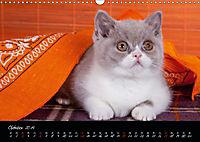 Katzenkinder Britisch Kurzhaar (Wandkalender 2019 DIN A3 quer) - Produktdetailbild 10