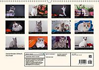 Katzenkinder Britisch Kurzhaar (Wandkalender 2019 DIN A3 quer) - Produktdetailbild 13