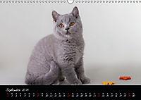 Katzenkinder Britisch Kurzhaar (Wandkalender 2019 DIN A3 quer) - Produktdetailbild 9