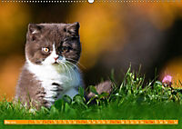 Katzenkinder - Britisch Kurzhaar (Wandkalender 2019 DIN A2 quer) - Produktdetailbild 5