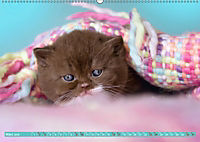 Katzenkinder - Britisch Kurzhaar (Wandkalender 2019 DIN A2 quer) - Produktdetailbild 3