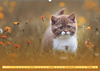 Katzenkinder - Britisch Kurzhaar (Wandkalender 2019 DIN A2 quer) - Produktdetailbild 4
