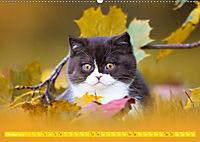 Katzenkinder - Britisch Kurzhaar (Wandkalender 2019 DIN A2 quer) - Produktdetailbild 10