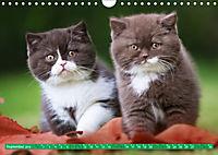 Katzenkinder - Britisch Kurzhaar (Wandkalender 2019 DIN A4 quer) - Produktdetailbild 9