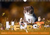 Katzenkinder - Britisch Kurzhaar (Wandkalender 2019 DIN A4 quer) - Produktdetailbild 11