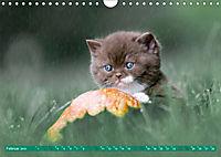 Katzenkinder - Britisch Kurzhaar (Wandkalender 2019 DIN A4 quer) - Produktdetailbild 2