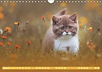 Katzenkinder - Britisch Kurzhaar (Wandkalender 2019 DIN A4 quer) - Produktdetailbild 4