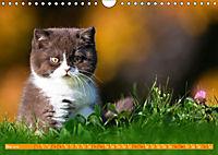 Katzenkinder - Britisch Kurzhaar (Wandkalender 2019 DIN A4 quer) - Produktdetailbild 5