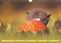 Katzenkinder - Britisch Kurzhaar (Wandkalender 2019 DIN A4 quer) - Produktdetailbild 8