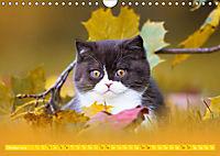 Katzenkinder - Britisch Kurzhaar (Wandkalender 2019 DIN A4 quer) - Produktdetailbild 10