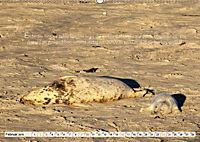 Kegelrobben auf der Insel Düne (Wandkalender 2019 DIN A2 quer) - Produktdetailbild 2