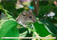 Kleiner Nager - Maus (Wandkalender 2019 DIN A2 quer) - Produktdetailbild 6