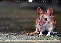 Kleiner Nager - Maus (Wandkalender 2019 DIN A4 quer) - Produktdetailbild 4