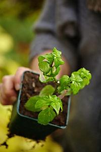 Kräuter richtig anbauen - Produktdetailbild 4