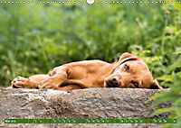 Labrador Trio - 3 Farben, 3 Freunde (Wandkalender 2019 DIN A3 quer) - Produktdetailbild 5
