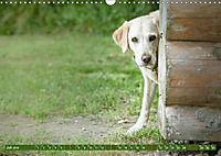 Labrador Trio - 3 Farben, 3 Freunde (Wandkalender 2019 DIN A3 quer) - Produktdetailbild 7