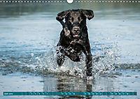 Labrador Trio - 3 Farben, 3 Freunde (Wandkalender 2019 DIN A3 quer) - Produktdetailbild 6