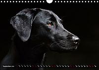 Labrador Trio - 3 Farben, 3 Freunde (Wandkalender 2019 DIN A4 quer) - Produktdetailbild 9