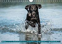 Labrador Trio - 3 Farben, 3 Freunde (Wandkalender 2019 DIN A4 quer) - Produktdetailbild 6