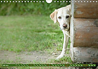 Labrador Trio - 3 Farben, 3 Freunde (Wandkalender 2019 DIN A4 quer) - Produktdetailbild 7