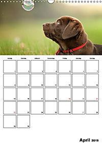 Labrador Welpe - Seelenhund (Wandkalender 2019 DIN A3 hoch) - Produktdetailbild 4